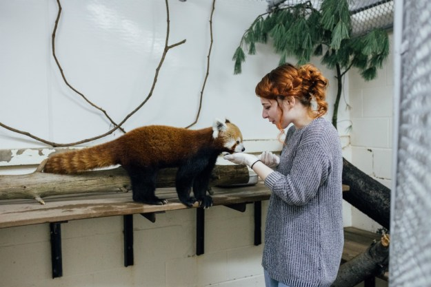 For this unique zoo bachelorette party, the bride and her friends got to feed and train animals like these red pandas! A Zoo Bachelorette Party | Ultimate Bridesmaid | CTG Photography