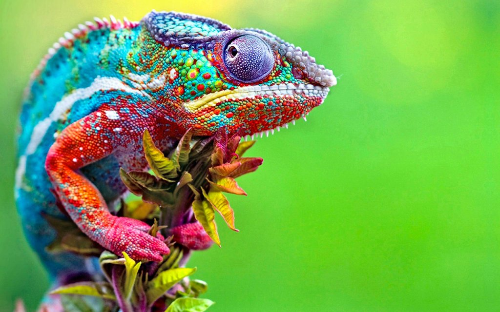 The Panther Chameleon