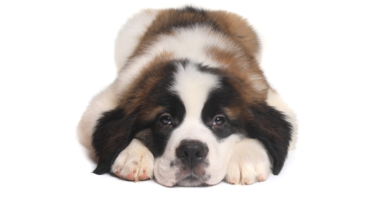 Saint Bernard puppy looking bored