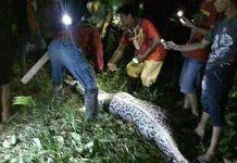 Indonesia, pitone ingoia donna: ventre del rettile era gonfio