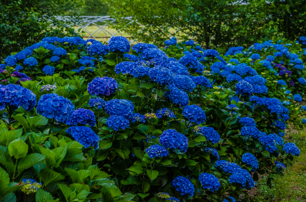 Camping on The Hydrangea Ranch