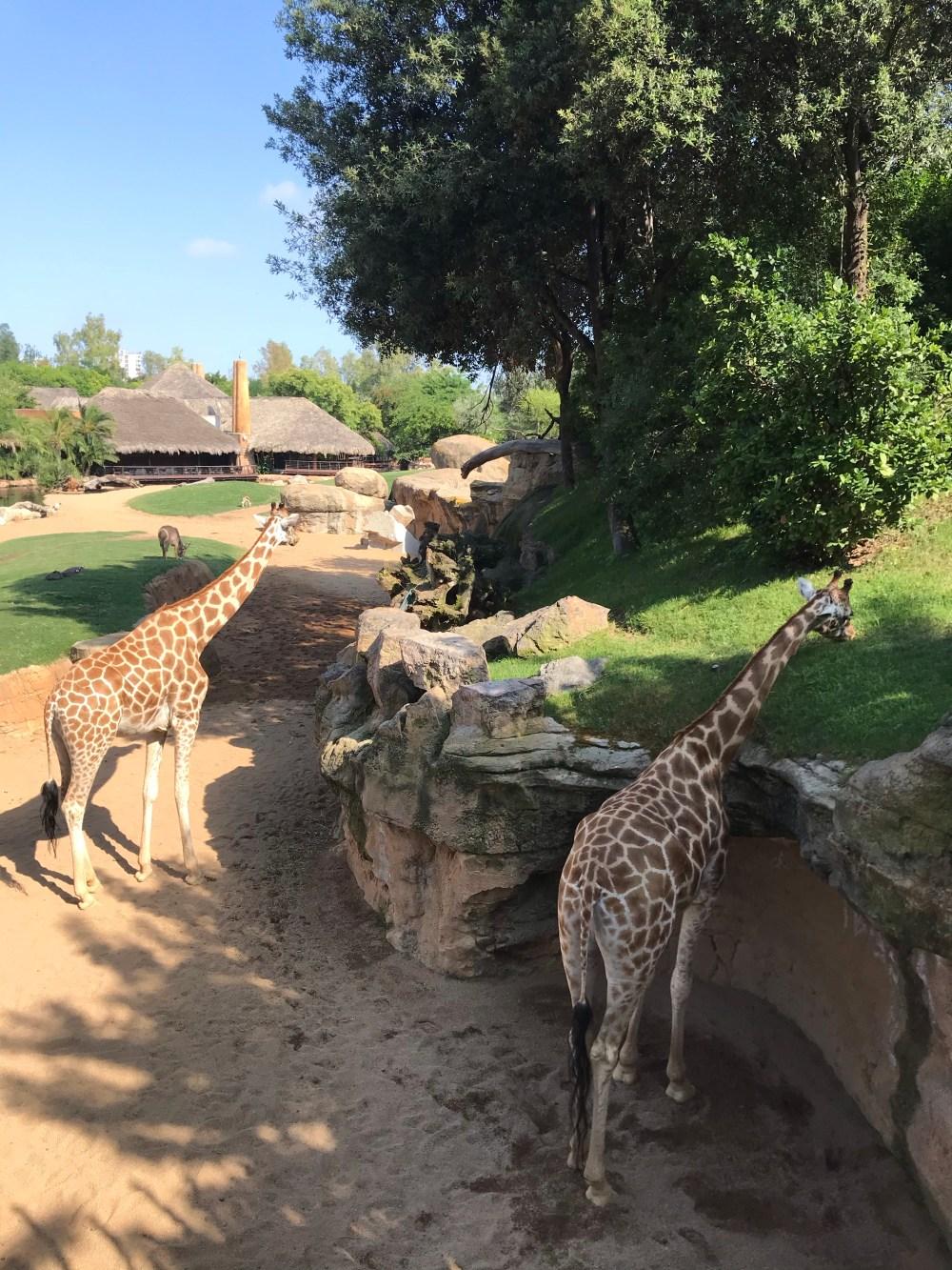 Veja giraffas se alimentando no Bioparc de Valencia