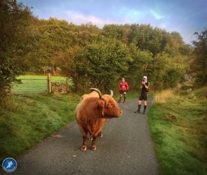 Highland Cow in Road
