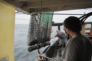 Crew members bring in scallop dredge