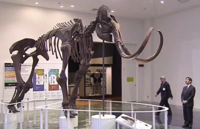 北海道博物館でマンモスをご見学