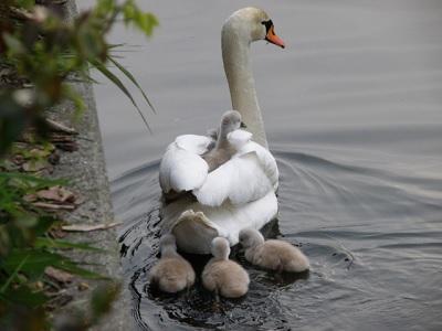 背中にひなを乗せて泳ぐ白鳥