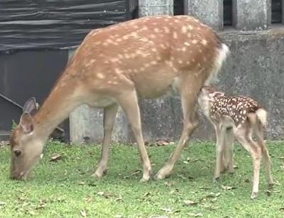 奈良で小鹿公開