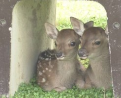 奈良公園で生まれたばかりの鹿の赤ちゃん 公開
