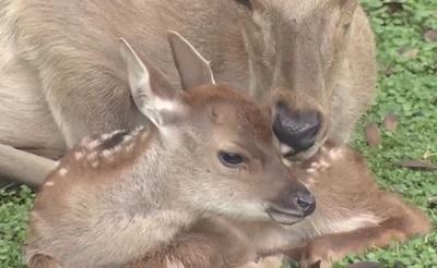 奈良公園で小鹿が生まれた