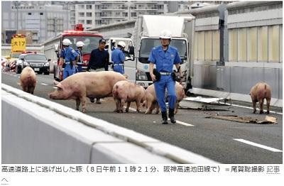 高速道路上に逃げ出した豚(8日午前11時21分、阪神高速池田線で)=尾賀聡撮影 記事へ