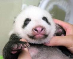 パンダの赤ちゃんうっすらと目を開ける