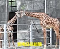キリン「冬真」婿入り 宮崎市動物園