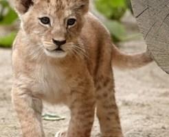 ライオンの赤ちゃん