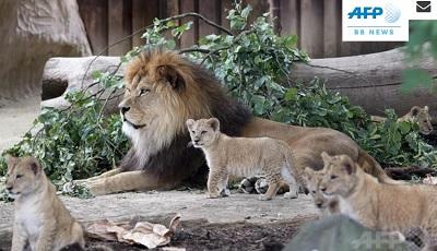 ドイツで5頭のライオン誕生