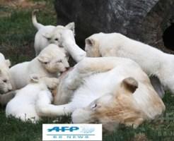 極めて珍しい五つ子のホワイトライオン、チェコ