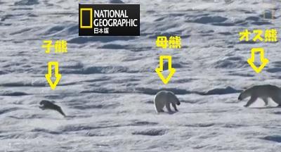 子熊を執拗に追いかけるオスぐま