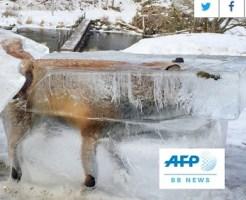 ドナウ川に落ちて凍ったキツネ、氷の塊ごと切り出される ドイツ