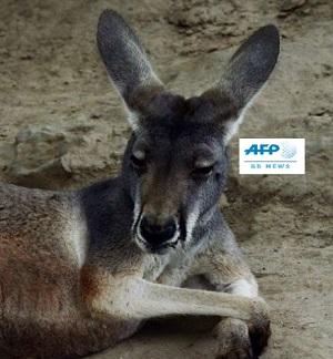 中国の動物園客にレンガを投げられカンガルーが死ぬ
