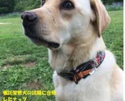 嘱託警察犬の試験に合格したナッツ(川向あゆみさん提供)