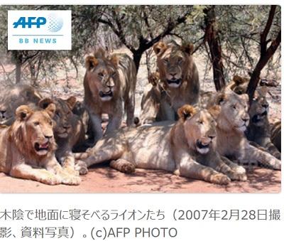 木陰で寝そべるライオンの家族