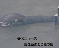 打ち上げのシロナガスクジラ赤ちゃん 胃からプラスチック