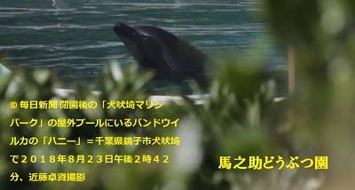 閉園後の「犬吠埼マリンパーク」の屋外プールにいるバンドウイルカの「ハニー」