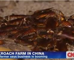 中国でゴキブリを養殖