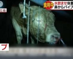 中国人は民度が低い牛に無理やり水を飲ませて水増し