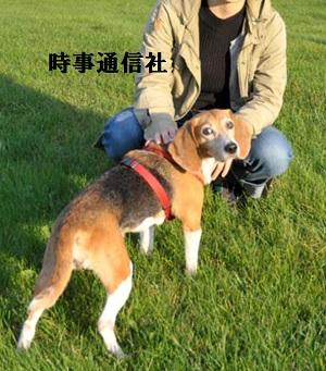 ドッグランで。実験犬からペットになったビーグル犬
