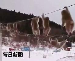 電線を渡る猿たち