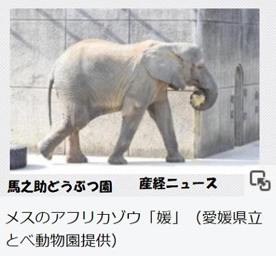 メスのアフリカゾウ「媛」(愛媛県立とべ動物園提供)