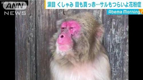 猿も花粉症