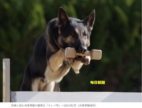 訓練に励む兵庫県警の警察犬「クレバ号」=2021年2月(兵庫県警提供)