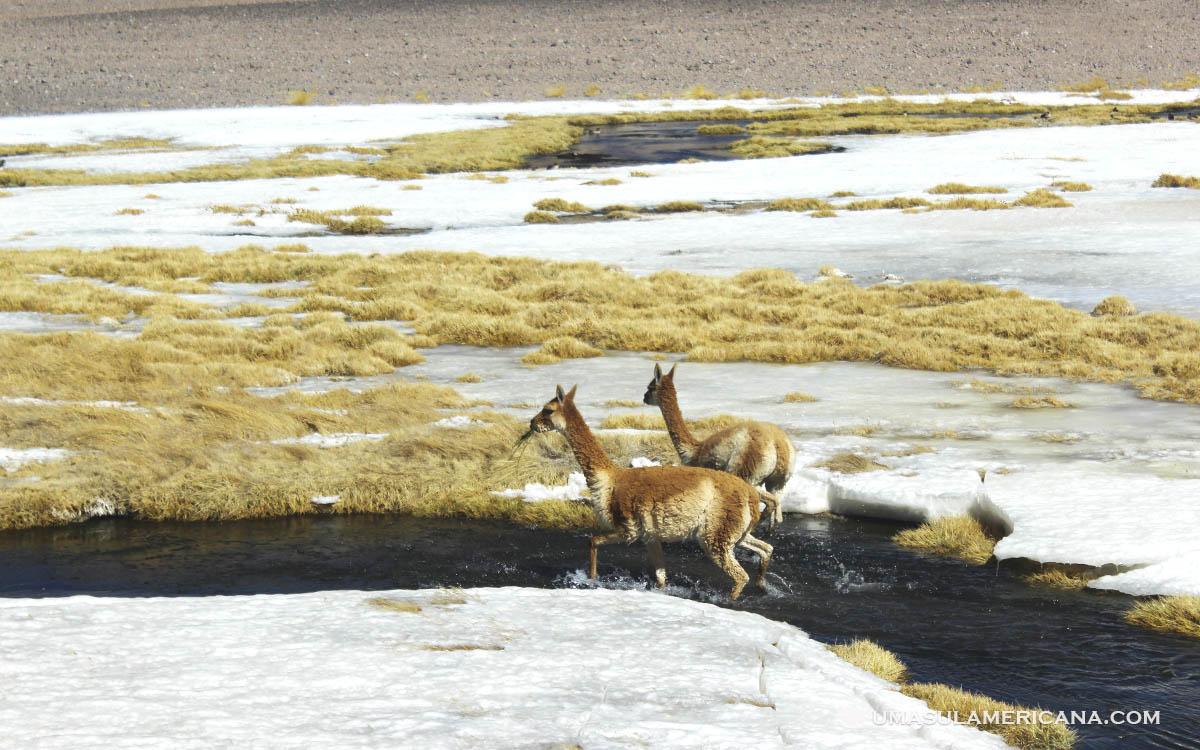 Animais andinos - Vicuñas no Deserto do Atacama, no Salar de Tara