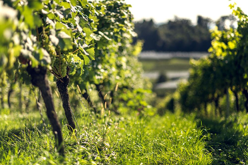 Der Bodensee und seine Weine