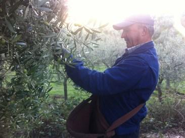 Raccolta tradizionale olio flaminio Trevi Umbria
