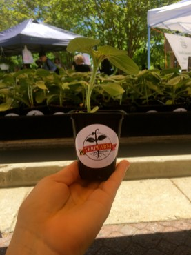 UMD sunflower handouts at the farmers market