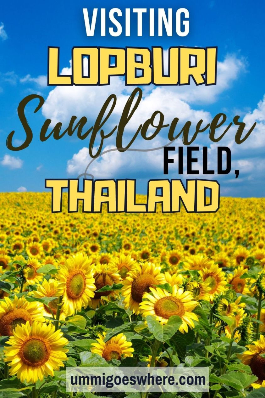 How to Go to Lopburi Sunflower Field, Thailand