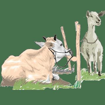 foto sapi dan kambing