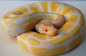 yellow phython