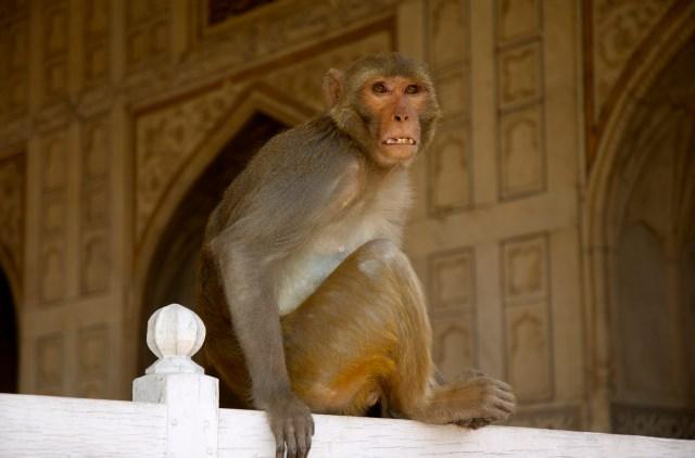 Macaco no alto da torre do Agra Forte