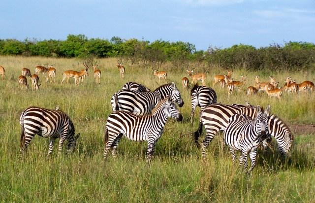 Impalas e zebras