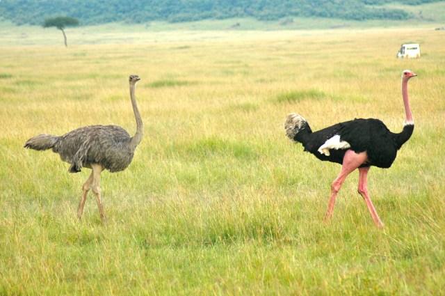 Avestruzes na savana africana