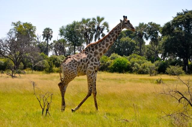 A girafa nos esperava ao lado da pista de pouso
