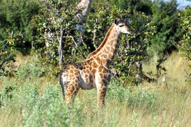 Filhote de girafa, ainda com cordão umbilical