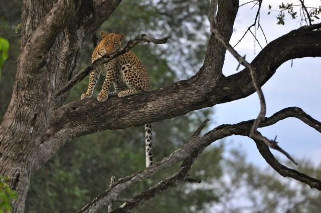 O leopardo sobre a árvore