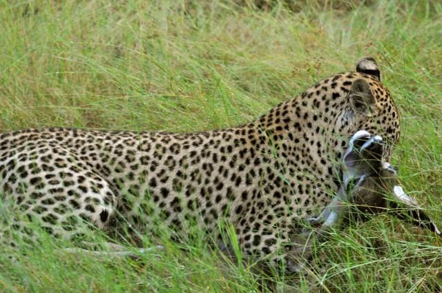 O leopardo caçou o kudu
