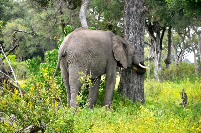 Os elefantes afinam as presas nas árvores