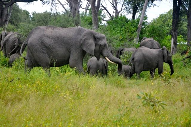 O primeiro grande grupo de elefantes que avistamos