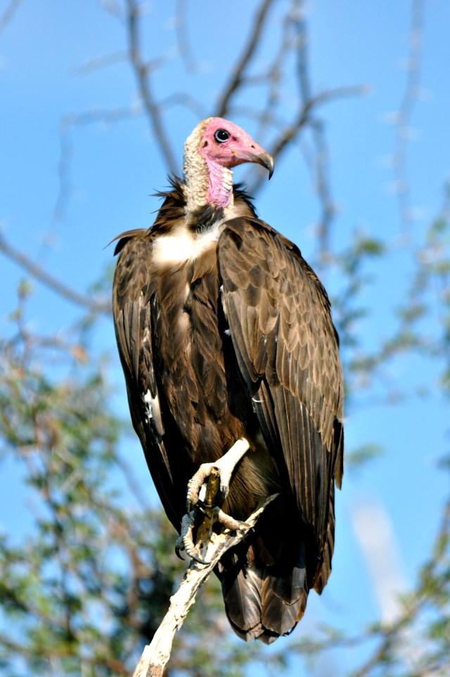 Os abutres aguardando os restos da impala.